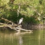 Greatblue Heron